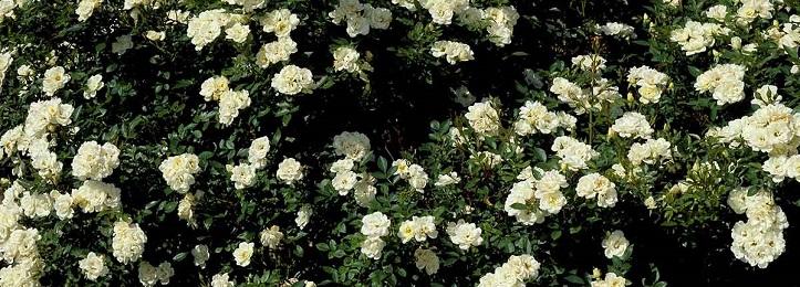 Bodembedekkende rozen