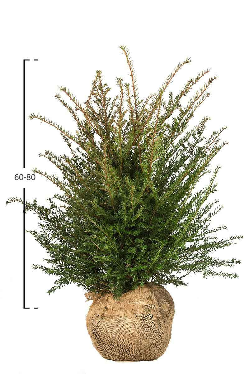 Taxus baccata struik
