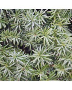 Taxus Hillii (zonder besjes)